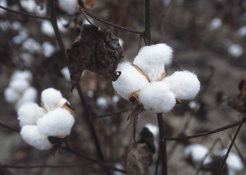 World cotton production to grow by 10% in 2017/18